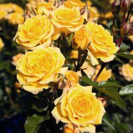 Zwergrose Yellow Clementine®