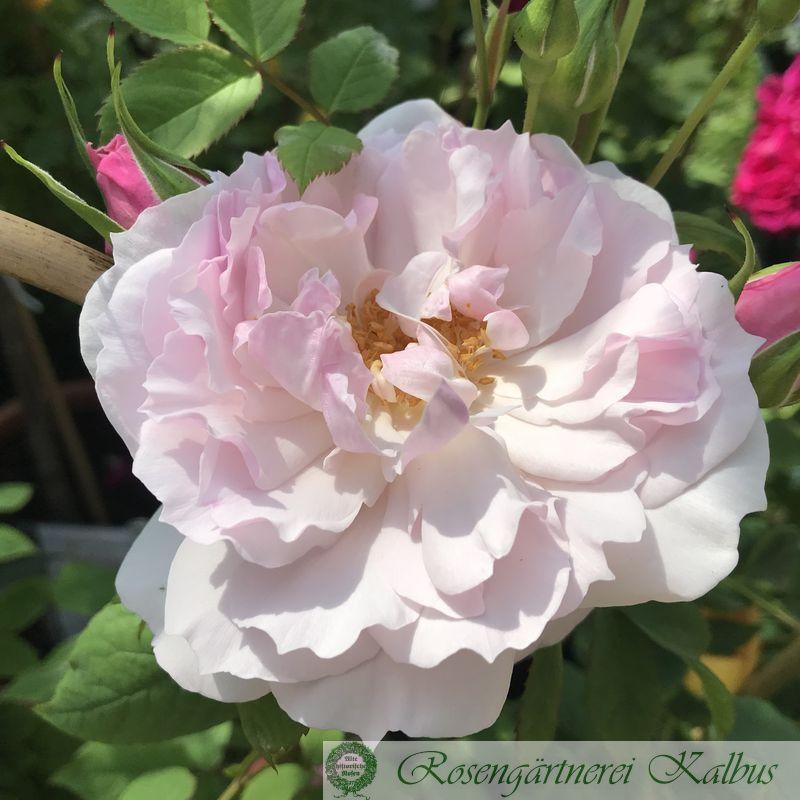 Englische Rose Lady Salisbury®