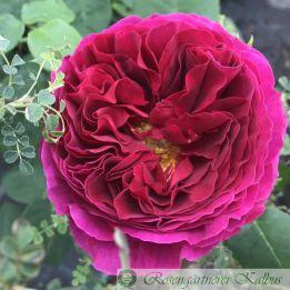 Englische Rose Othello®