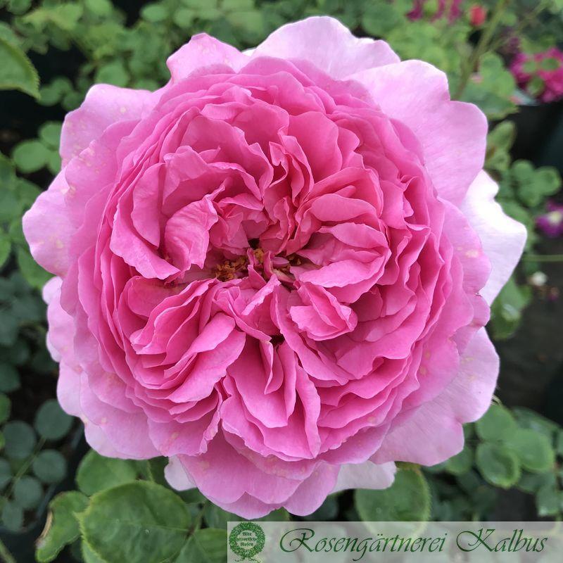 Englische Rose Princess Alexandra of Kent®