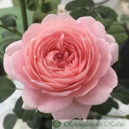Englische Rose Queen of Sweden®