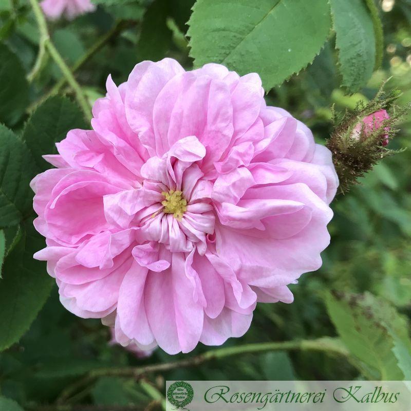 Historische Rose Laneii