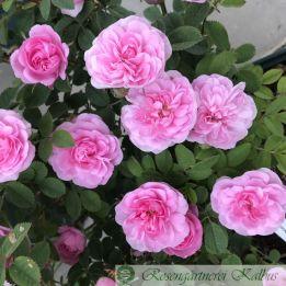 Historische Rose Rose de Meaux