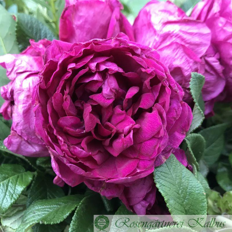 Historische Rose Roseraie de l'Hay