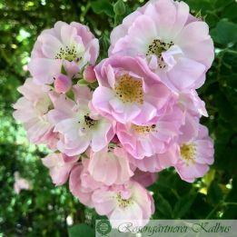Ramblerrose Apple Blossom