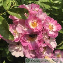 Ramblerrose Blush Rambler