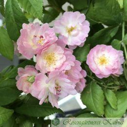 Ramblerrose Guirlande Rose®