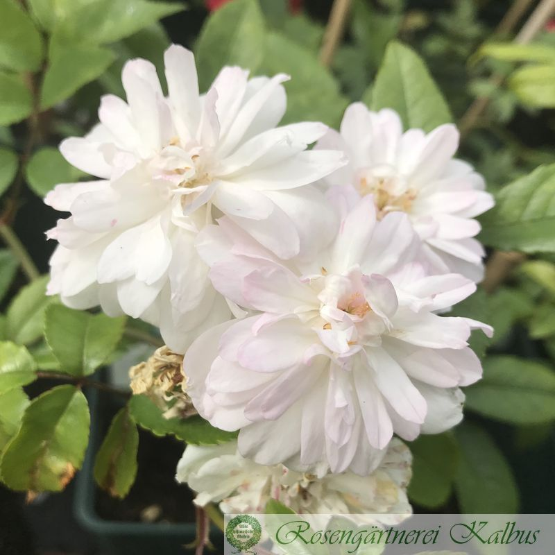 Ramblerrose Snow Goose®