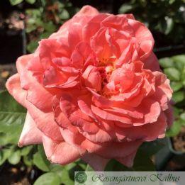 Edelrose Amour de Molene®