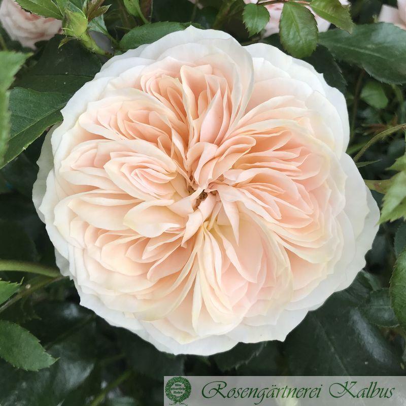 Moderne Beetrose Garden of Roses®