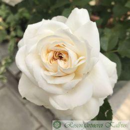 Moderne Beetrose Lions Rose®