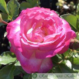 Edelrose Sweet Delight®
