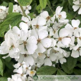 Wildrose Multiflora