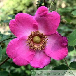 Wildrose Sweginzowii macrocarpa