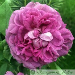 Historische Rose Reine des Violettes II