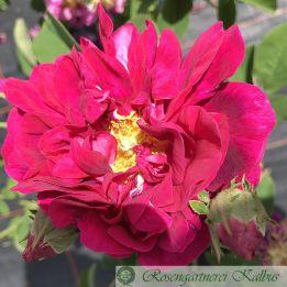 Gallica Rose D'Aguesseau