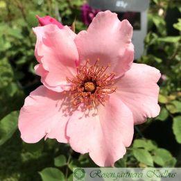 Historische Rose Dainty Bess