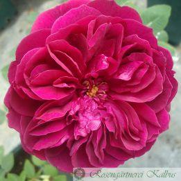 Englische Rose Darcey Bussell®