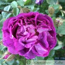 Historische Rose Deuil de Paul Fontaine