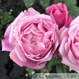 Besondere Rose Dieter Müller®