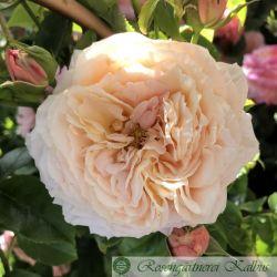 Delbardrose Domaine de Chantilly®