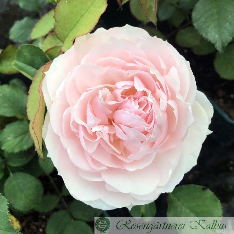Generosa Rose Domaine de Charance®