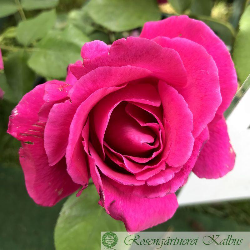 Historische Rose Druschki rubra