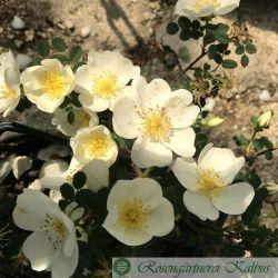 Wildrose Dunwich Rose