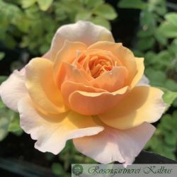 Englische Rose English Garden®
