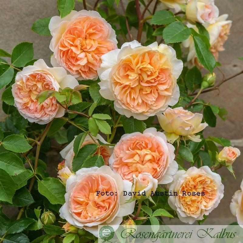 Englische Rose Bathsheba®