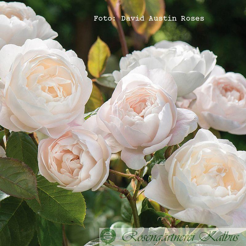 Englische Rose Desdemona®