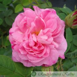 Historische Rose Belle Amour