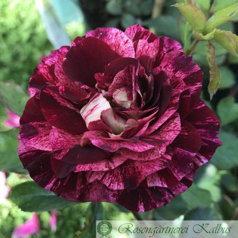 Generosa Rose Belle d´Espinouse®