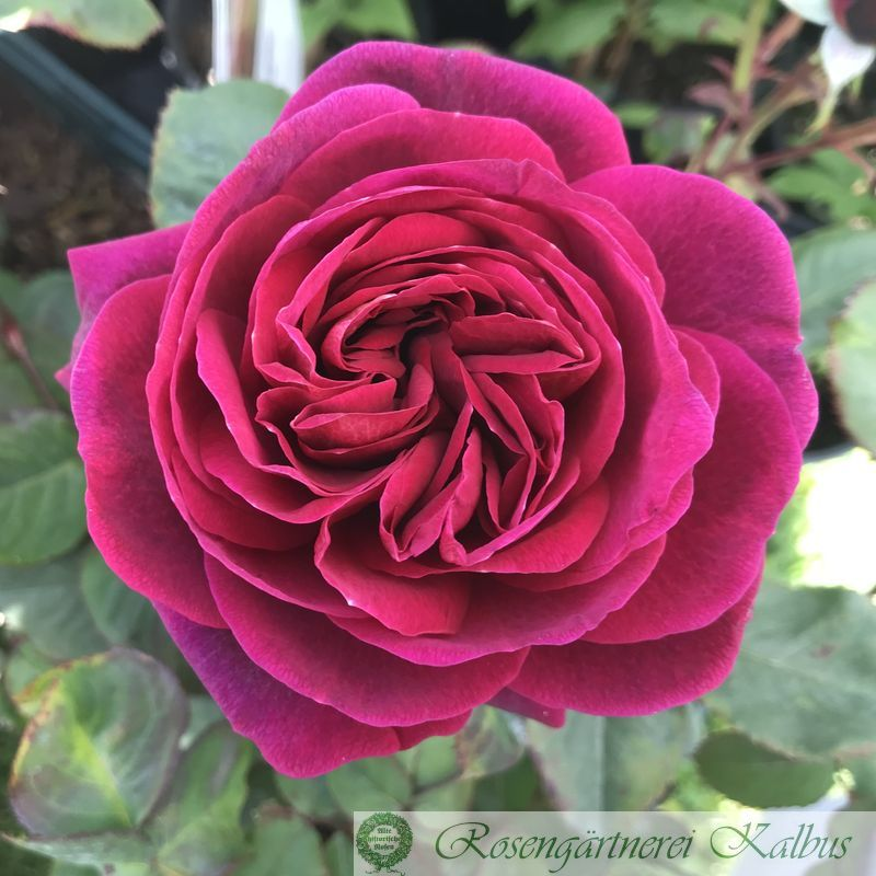 Generosa Rose Bicentenaire de Guillot®