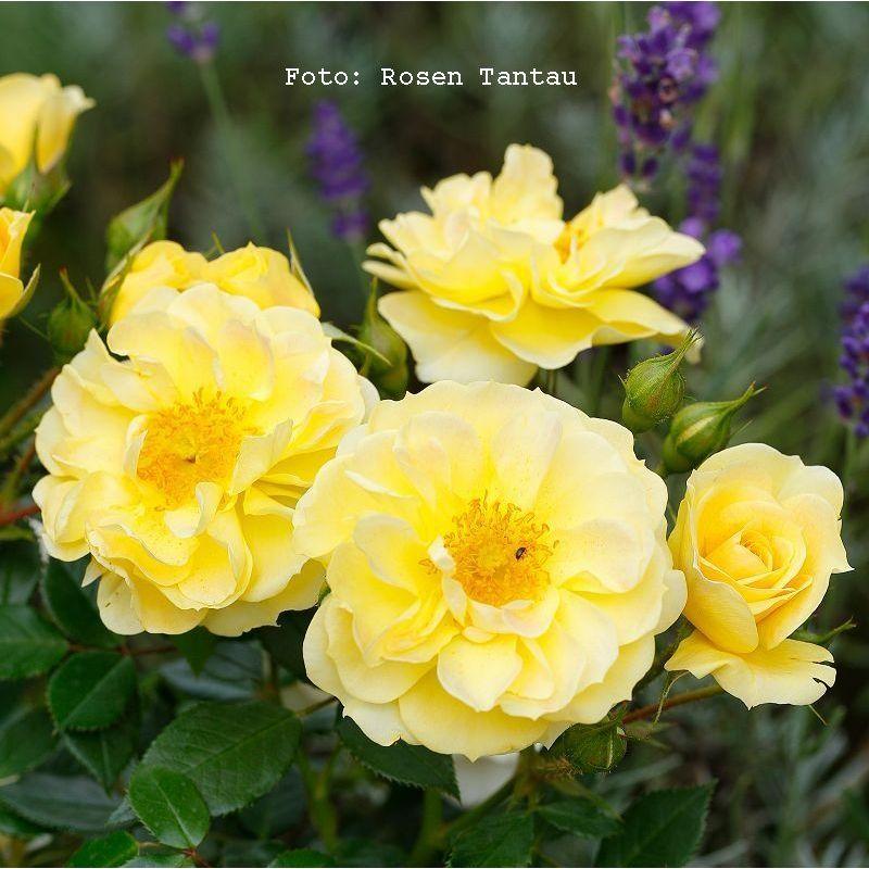 Bodendeckerrose Bienenweide Gelb®
