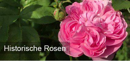 Historische Rosen online kaufen