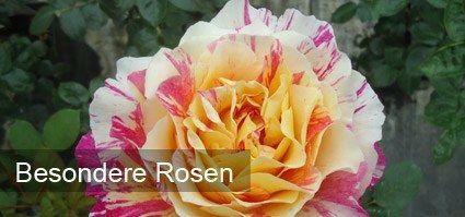 Besondere Rosen online kaufen